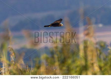 Eurasian or western marsh harrier, circus aeruginosus, flying upon reeds by day, Neuchatel lake, Switzerland