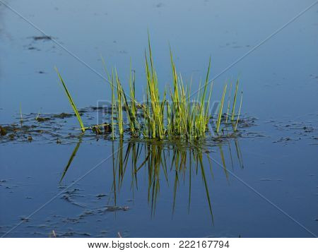 Aquatic vegetation emerges from an Illinois wetland in the spring