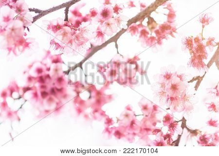 Pink blossoms on the branch during spring blooming at Doi Ang Khang. Branch with pink sakura blossoms, Chiang Mai, Thailand. Blooming cherry tree branches against a cloudy blue sky Himalayan blossom