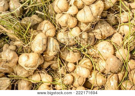 closeup photo of fresh and sweet turnip, jicama