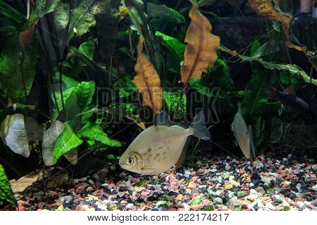 Silver Dollar fish (Metynnis lippincottianus) swimming in freshwater tropical densely planted aquarium