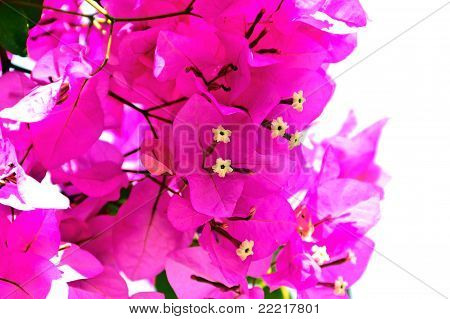 Isolated Bougainvillea Cluster
