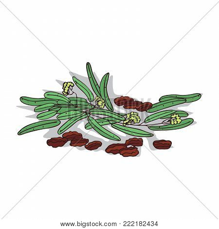 Isolated clipart of plant Jojoba on white background. Botanical drawing of herb Simmondsia chinensis with seeds and leaves