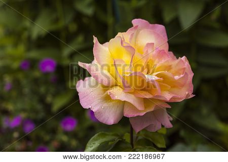 Close up on a yellow wet rose in a garden. Fuzzy background.