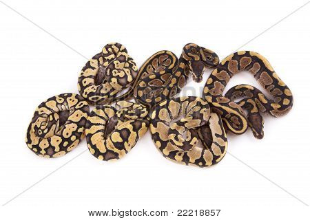Baby Ball or Royal Pythons Firefly Fire and Pastel morphs on white background poster