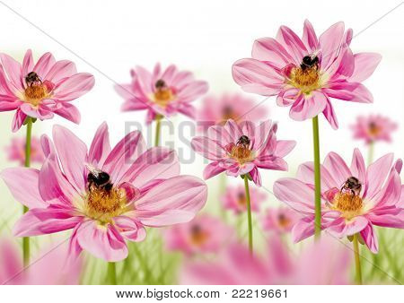 blumbees in a field of pink flowers collecting honey