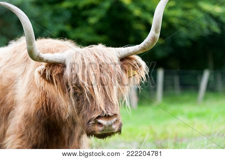 Closeup portrait of beautiful highland scottish hairy red cow with big horns. Glasgow, Uk, Scotland. Colored outdoor summertime horizontal image.