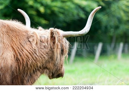 Wet beautiful highland scottish hairy red cow with big horns gazing on pasture. View from backside. Glasgow, Uk, Scotland. Colored outdoor summertime horizontal image.
