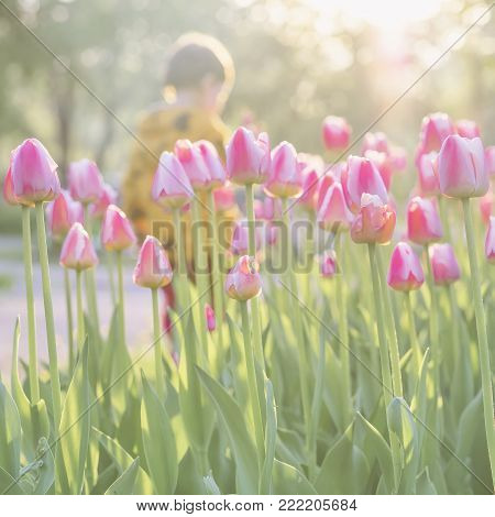 Walking little child in park with blooming pink tulips on foreground, Sunny spring day. Blurred abstract image for spring, summer creative background, pantone fashion colors