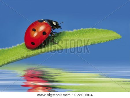 little sweet ladybug on a leaf over water. More pictures of this cute beetle in my portfolio.