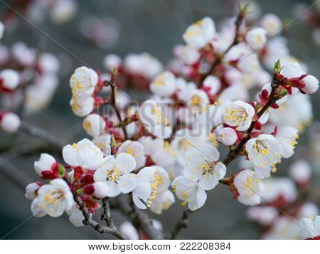 White spring flowers. Spring blossoming of an apricot tree. Spring blossoming of apricot. The blossoming apricot tree.  The blossoming apricot.