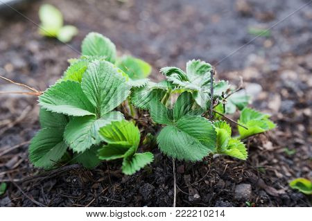 How grows strawberries in the garden in the spring. A young strawberry bush, seedlings, a spring thaw, a garden, a garden.