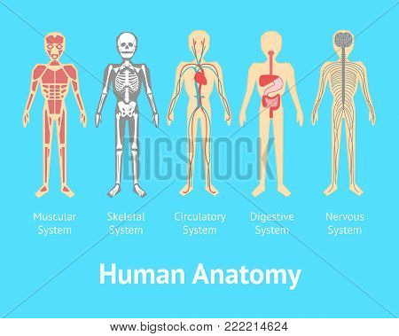Cartoon Color Human Anatomical System Card Muscle, Skeleton, Nerve, Circulation and Stomach Poster Flat Style Design. Vector illustration