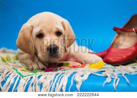 cute puppy white Labrador Retriever on a blue background in Studio