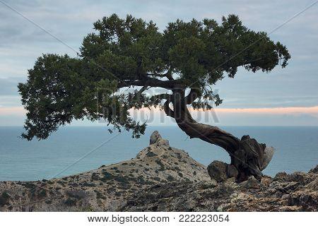 Juniper tree on the rock in Crimea. Evening landscape with scenic views of tree and the rocky cape in Black sea. Noviy Svet, Crimea.