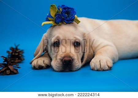cute sad puppy white Labrador Retriever on a blue background in Studio