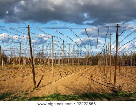 Hop garden - fields for growing hops in sunset