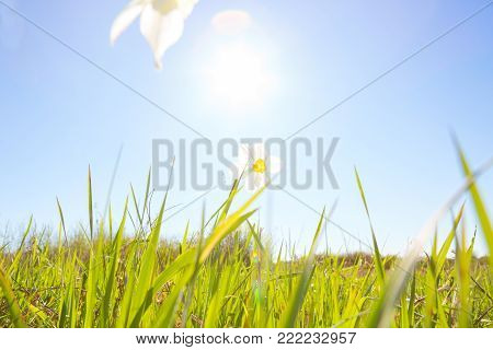 White narcissus flower on over blue sky on sunset background. Narcissus poeticus.