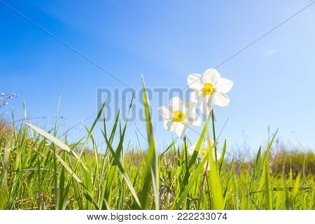 Two white narcissus from the green grass on over blue sky on sunset background. Narcissus poeticus.