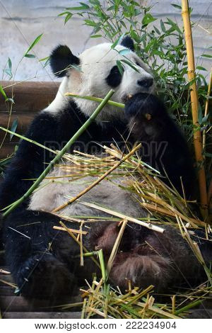 Sitting giant panda eating bamboo. Vertical image.