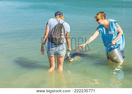 Monkey Mia, Australia - Dec 21, 2017: tourist woman feeding a dolphin of Monkey Mia near a ranger. Monkey is only place in Australia visited daily by dolphins.Coral coast, Shark Bay, Western Australia