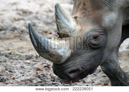 Close up head of black rhinoceros or hook-lipped rhinoceros (Diceros bicornis) is a species of rhinoceros, native to eastern and southern Africa.