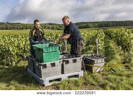 Trepail, France - August11, 2017: Harvest in the vineyards with workers with crates in the Champagne region with fields of pinot noir grapes.
