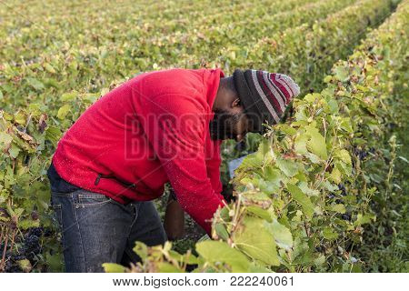 Trepail, France - August11, 2017: Worker in the vineyard  in the Champagne region with fields of pinot noir grapes.