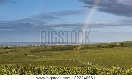 Trepail, France - August11, 2017: Harvest in the vineyards of Champagne grapes with rainbow above the fields with pinot noir grapes.