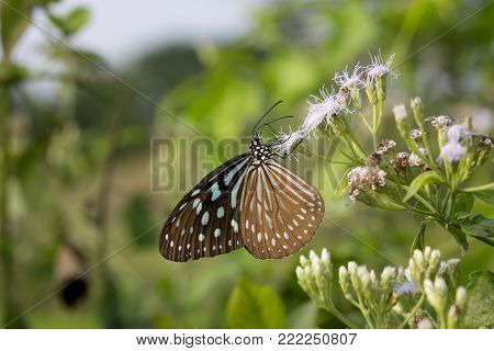 Beautiful butterfly (Blue Glassy Tiger) on white flower (Siam weed).