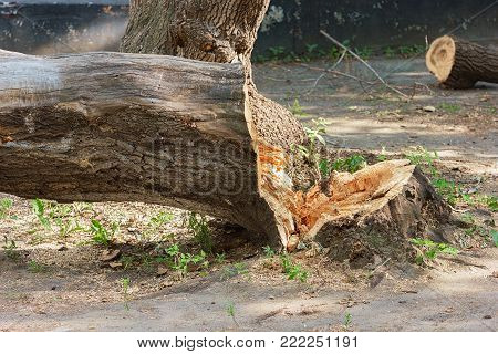 The felled tree stump, sawdust and branches, photo.