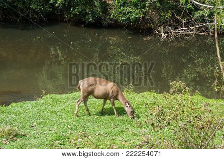 Sambar Doe Deer, Southeast Asian and Indian Deer, Standing and Eating Grass beside Salt Lick and Swamp in Khao Yai National Park in Pakchong, Nakhon Ratchasima, Thailand
