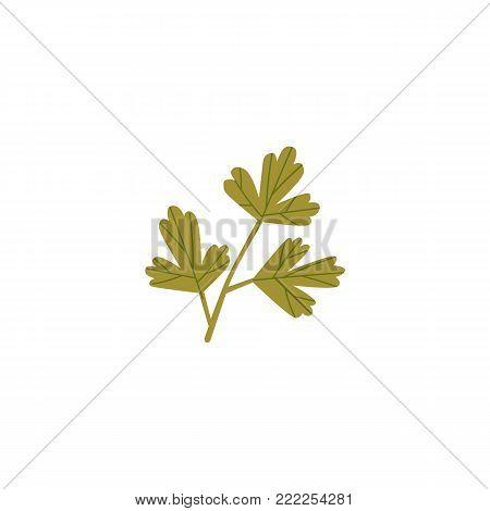Fresh green parsley, coriander, cilantro leaf, spring, twig, cartoon vector illustration isolated on white background. Isolated cartoon illustration of fresh green parsley, coriander, cilantro leaf