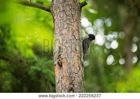 Dryocopus martius. The wild nature of the Czech Republic. From bird life. Beautiful picture. Free nature. Photographed in the Czech Republic. European wildlife. Color image. Spring nature. Spring. Europe. Czech Republic. Bird on the tree. Black medium siz