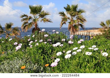 Winter landscape with flowers on the beach, Paphos, Cyprus. selective focus