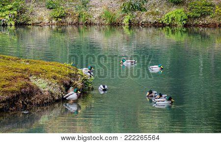 Ducks swim on pond of a zen garden in Kyoto, Japan.