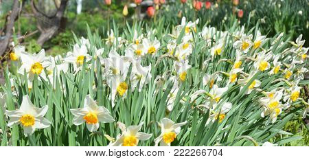 Panorama of White spring narcissus flowers with red tulips flower bed. Narcissus flower also known as daffodil, daffadowndilly, narcissus, and jonquil.