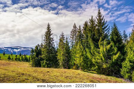 spruce forest under the cloudy sky. beautiful nature scenery at the foot of Borzhava mountain ridge in springtime