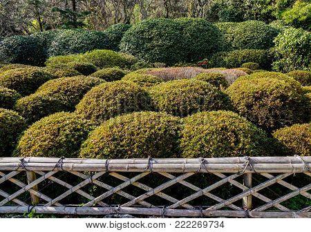 Bonsai trees at Japanese zen garden in Kyoto, Japan.