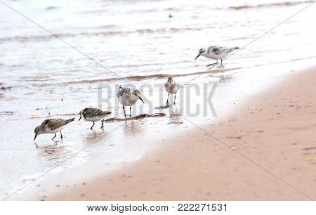 Five sanderling, Calidris Alba, looking for food at a beach in Iles de la Madeleine in Canada