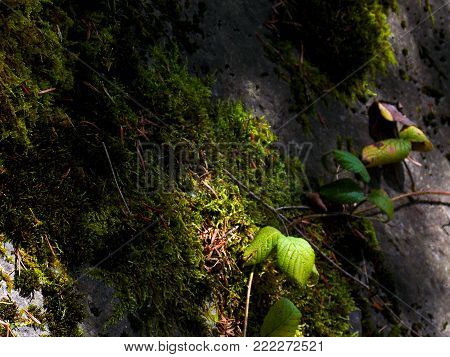 Moss in forest, macro moss, green moss background, growing moss. Mountains. Summer.