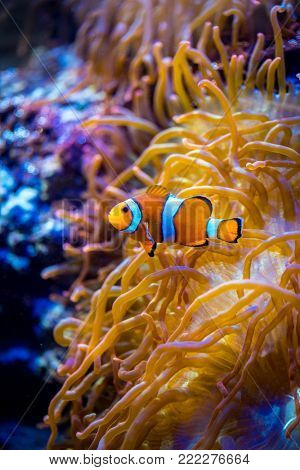 Topical saltwater fish ,clownfish Anemonefish