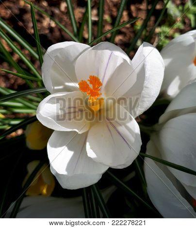 Sunlit, White Crocus Open in the Garden