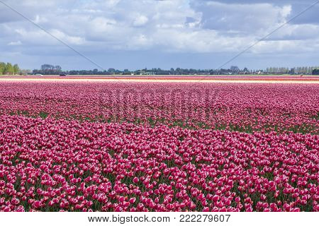 vibrant blooming dutch spring tulip flower field