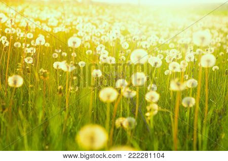 Field of dandelions. Green summer meadow with dandelions at sunset.