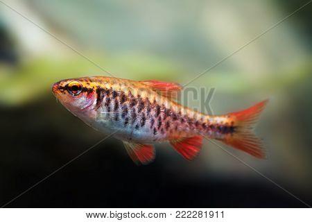 Fishtank landscape with red orange fish cherry Barb. Tropical freshwater aquarium with female Puntius titteya pet belonging to the family Cyprinidae.