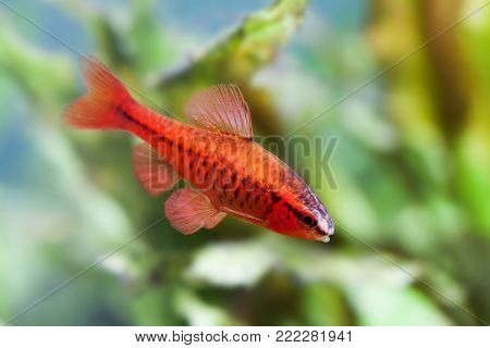 Beautiful red fish on soft green plants background. Male barb swimming tropical freshwater aquarium tank. Puntius titteya belonging to the family Cyprinidae. Macro view, shallow depth of field.