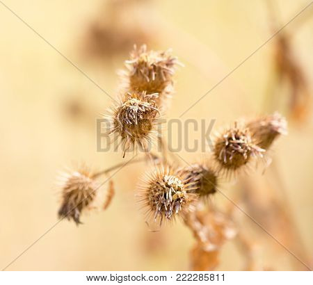 Dry prickly plant in nature . In the park in nature