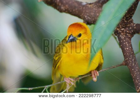 Brilliant yellow warbler bird in tropical trees.