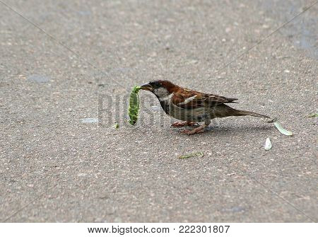 House sparrow ( Passer domesticus ) catching a large green grasshopper
